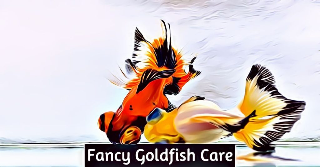 fancy goldfish care