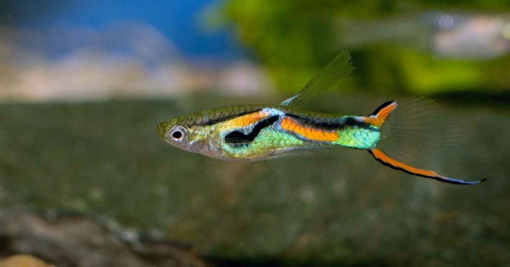 how long do guppies live