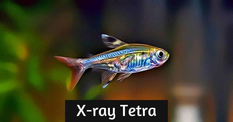 xray tetra fish