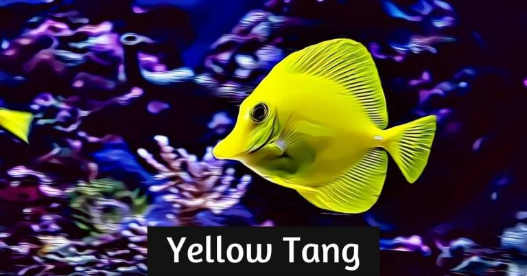 yellow tang care